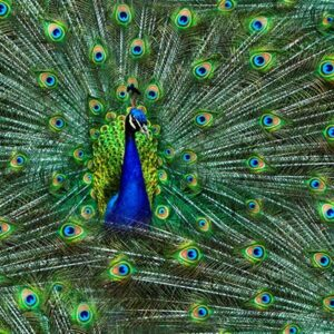 Proud As A Peacock Digital Print By Hoffman - Peacock