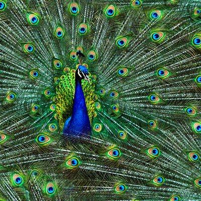 Proud As A Peacock Digital Print By Hoffman - Peacock