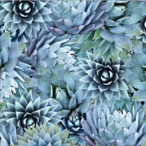 Natures Narratives By Hoffman - Agave